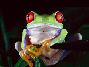 Flamboyant Frog