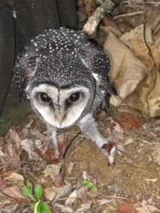 Maybe a sooty owl