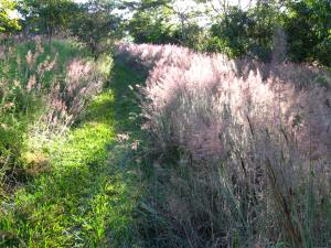 Molasses grass in flower