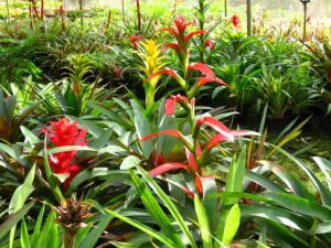 Flowering Guzmanias