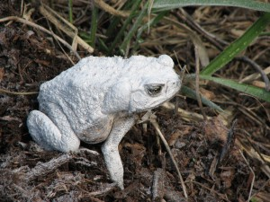Fertilised toad