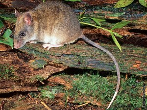 White tailed rat