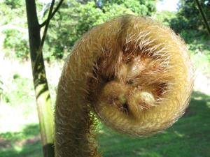 Unfurling tree fern crozier
