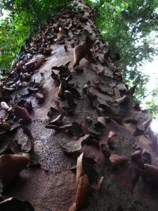 Kauri pine tree bark