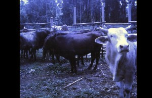 Wapei LGC cattle 1971