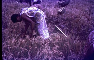Bonga village (Finschhafen) rice harvesting
