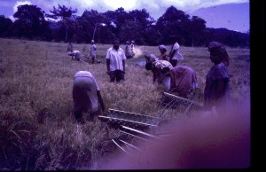 Bonga village rice 1974
