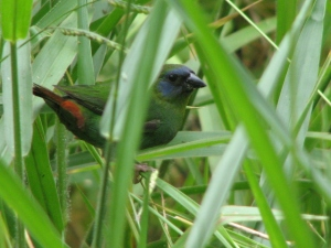 The rare and elusive bluefaced parrot-finch