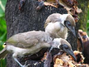 Young friar birds