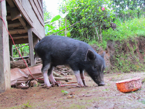 Domestic pig Rebafu village