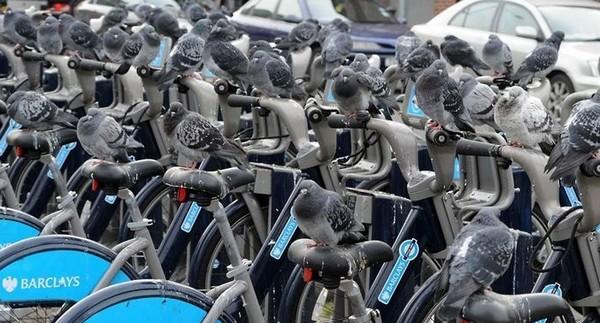 Cycling Pigeons